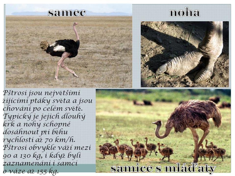 Pštrosi jsou nejv ě tšími ž ijícími ptáky sv ě ta a jsou chováni po celém sv ě t ě. Typický je jejich dlouhý krk a nohy schopné dosáhnout p ř i b ě hu