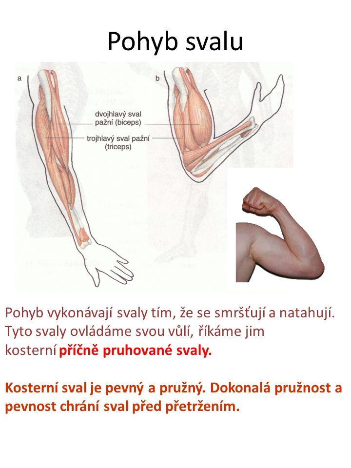 Pohyb svalu Pohyb vykonávají svaly tím, že se smršťují a natahují. Tyto svaly ovládáme svou vůlí, říkáme jim kosterní příčně pruhované svaly. Kosterní