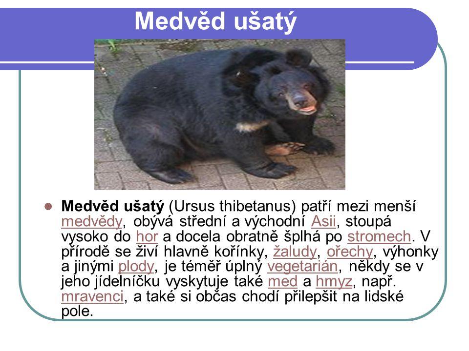 Medvěd ušatý Medvěd ušatý (Ursus thibetanus) patří mezi menší medvědy, obývá střední a východní Asii, stoupá vysoko do hor a docela obratně šplhá po stromech.