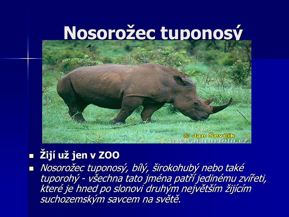 Nosorožec tuponosý Žijí už jen v ZOO Žijí už jen v ZOO Nosorožec tuponosý, bílý, širokohubý nebo také tuporohý - všechna tato jména patří jedinému zvířeti, které je hned po slonovi druhým největším žijícím suchozemským savcem na světě.