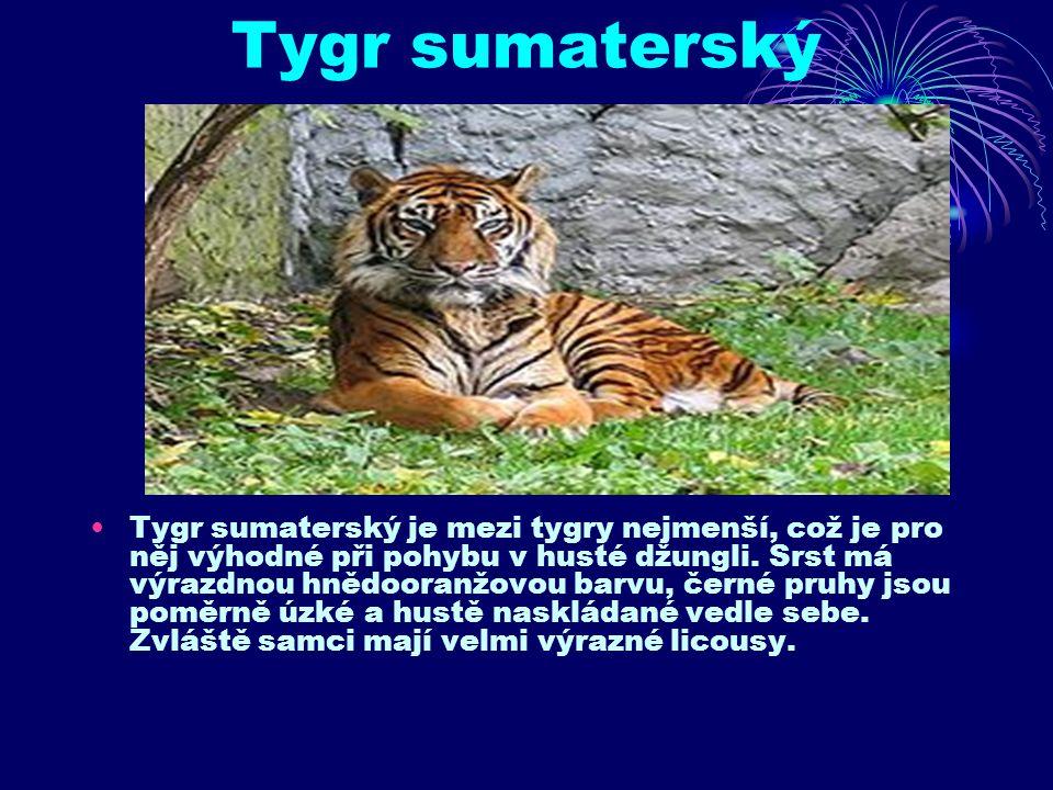 Tygr sumaterský Tygr sumaterský je mezi tygry nejmenší, což je pro něj výhodné při pohybu v husté džungli.