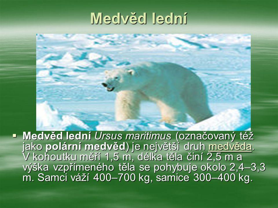 Medvěd lední  Medvěd lední Ursus maritimus (označovaný též jako polární medvěd) je největší druh medvěda.