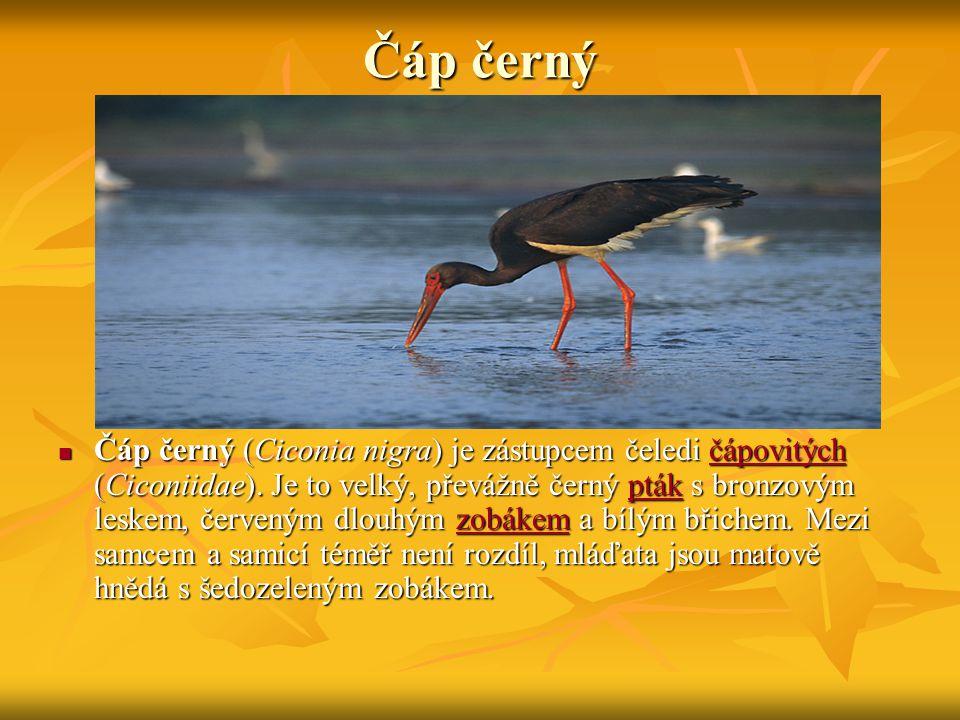 Čáp černý Čáp černý (Ciconia nigra) je zástupcem čeledi čápovitých (Ciconiidae).