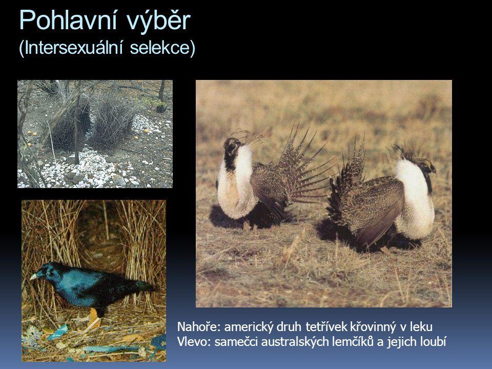 Pohlavní výběr (Intersexuální selekce) Nahoře: americký druh tetřívek křovinný v leku Vlevo: samečci australských lemčíků a jejich loubí