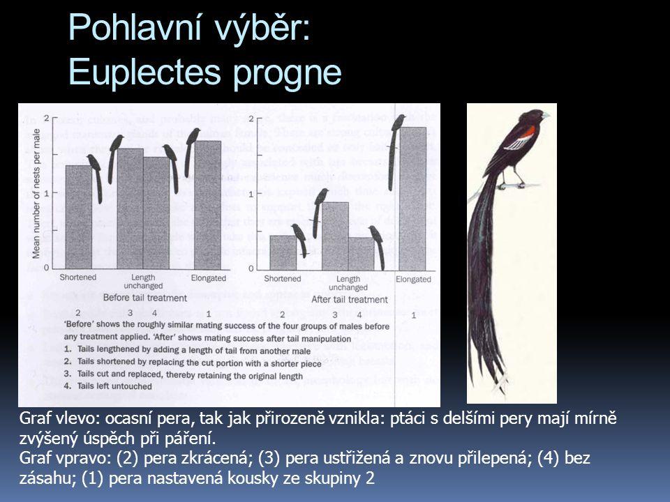 Pohlavní výběr: Euplectes progne Graf vlevo: ocasní pera, tak jak přirozeně vznikla: ptáci s delšími pery mají mírně zvýšený úspěch při páření. Graf v