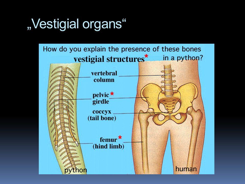 """""""Vestigial organs"""""""