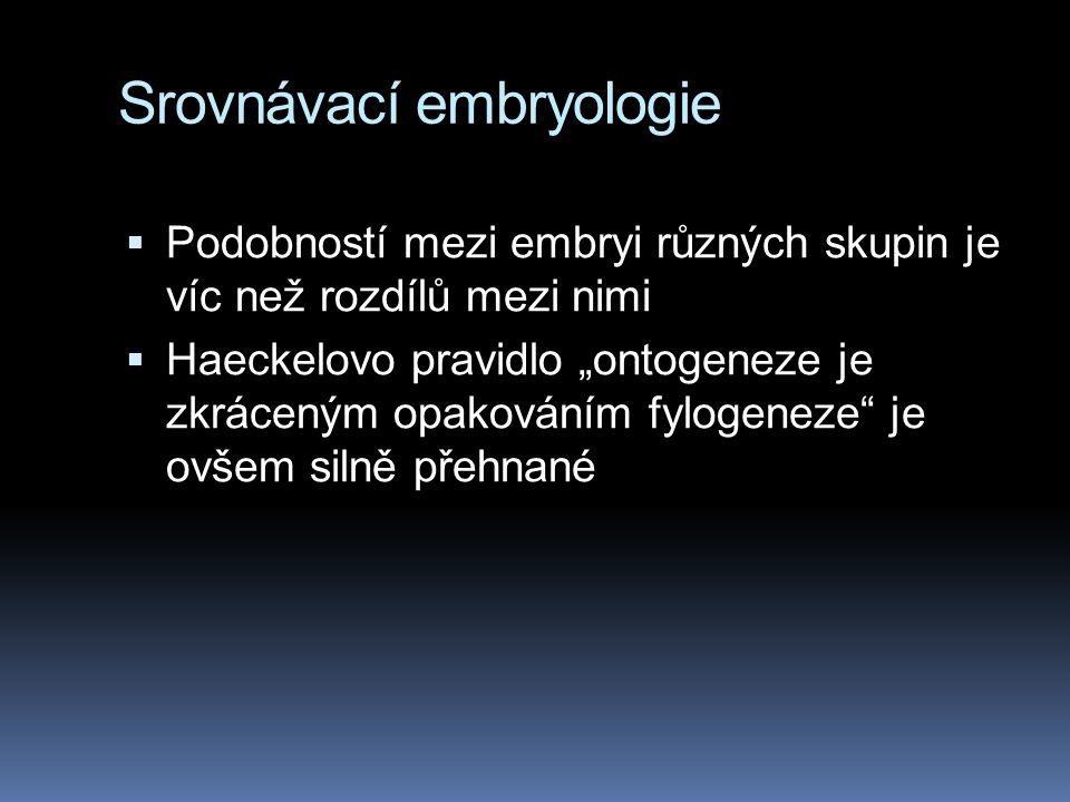 """Srovnávací embryologie  Podobností mezi embryi různých skupin je víc než rozdílů mezi nimi  Haeckelovo pravidlo """"ontogeneze je zkráceným opakováním"""