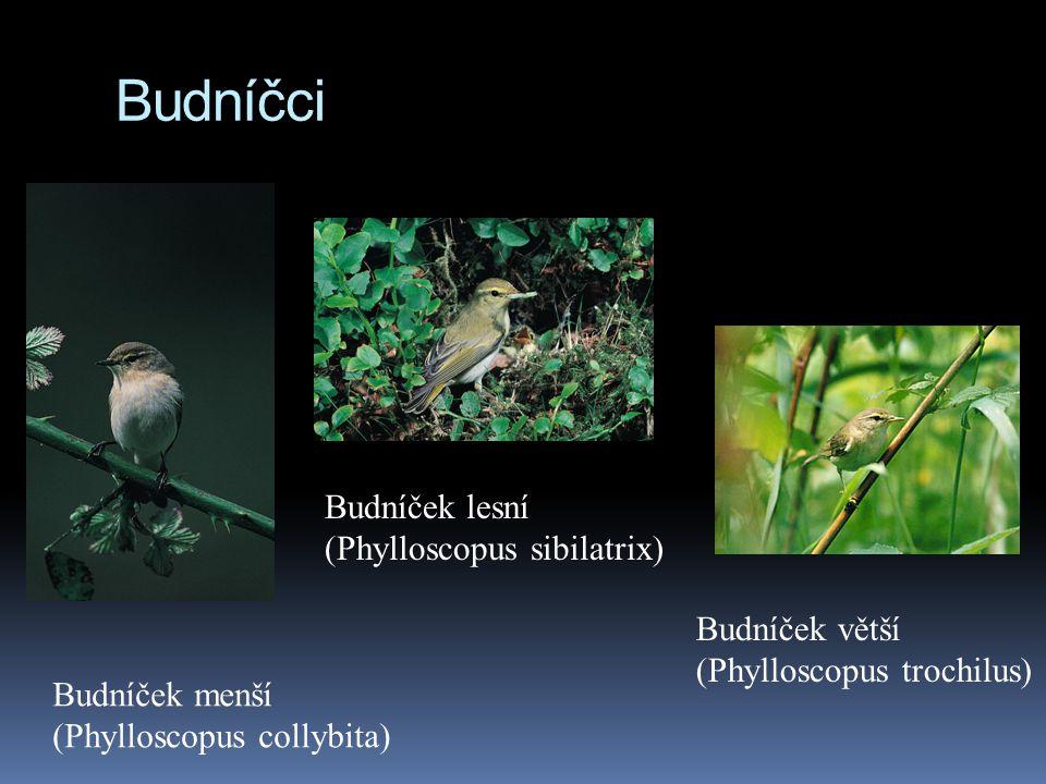 Budníčci Budníček menší (Phylloscopus collybita) Budníček větší (Phylloscopus trochilus) Budníček lesní (Phylloscopus sibilatrix)