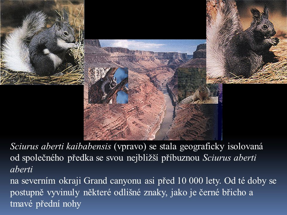 Sciurus aberti kaibabensis (vpravo) se stala geograficky isolovaná od společného předka se svou nejbližší příbuznou Sciurus aberti aberti na severním