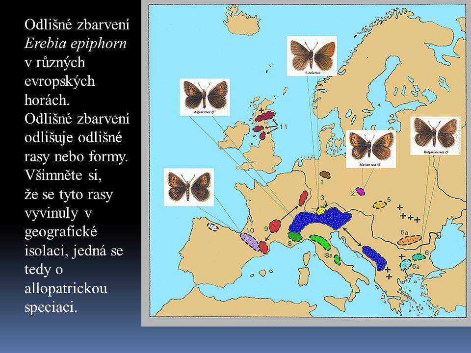 Odlišné zbarvení Erebia epiphorn v různých evropských horách. Odlišné zbarvení odlišuje odlišné rasy nebo formy. Všimněte si, že se tyto rasy vyvinuly