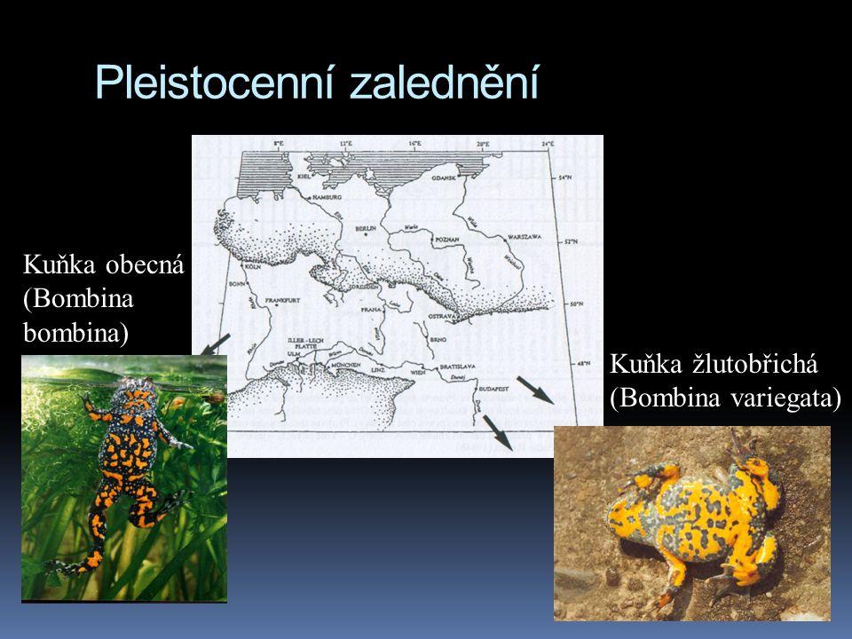 Pleistocenní zalednění Kuňka obecná (Bombina bombina) Kuňka žlutobřichá (Bombina variegata)
