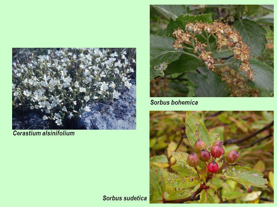 Cerastium alsinifolium Sorbus bohemica Sorbus sudetica