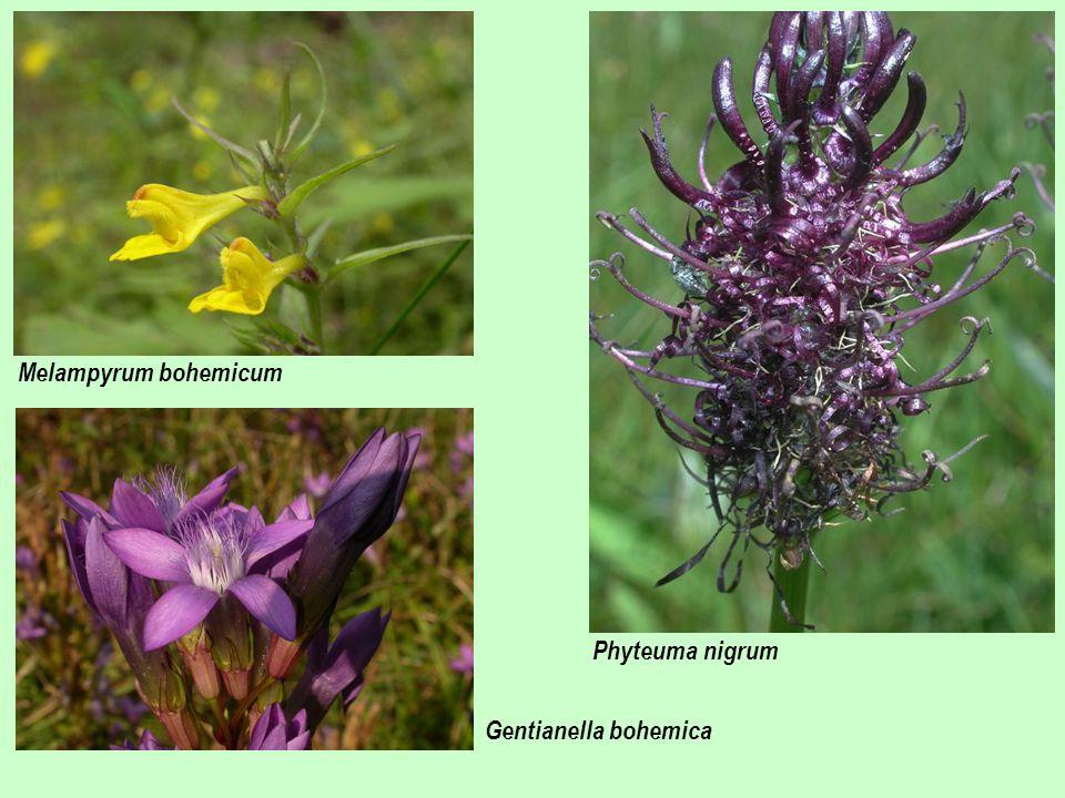Phyteuma nigrum Melampyrum bohemicum Gentianella bohemica