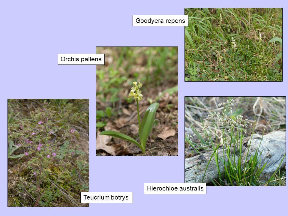 Teucrium botrys Orchis pallens Goodyera repens Hierochloe australis