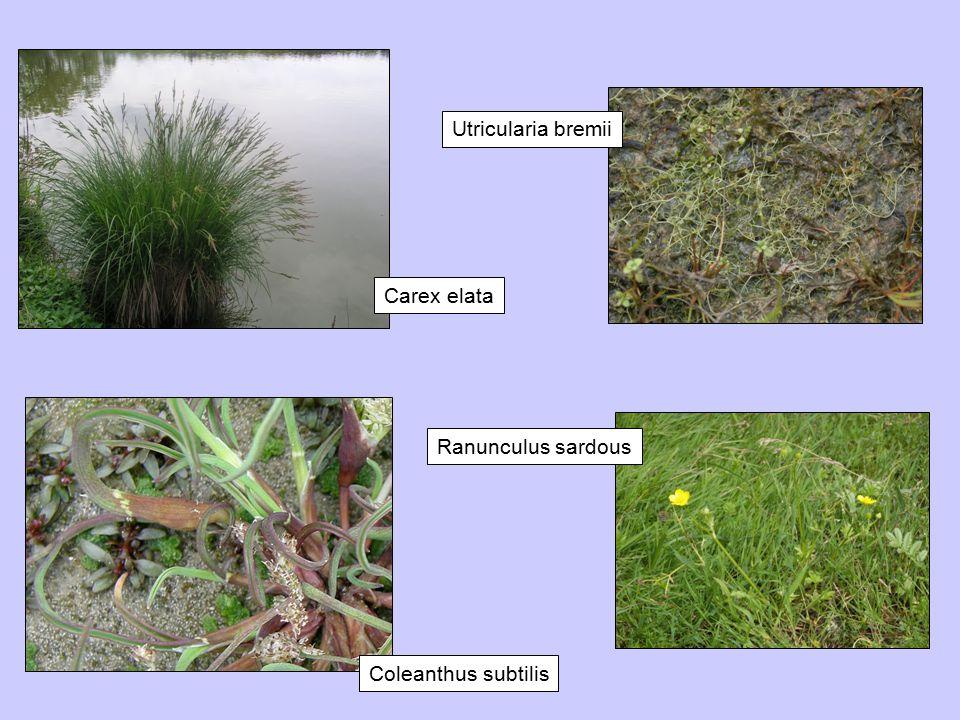 Carex elata Utricularia bremii Coleanthus subtilis Ranunculus sardous