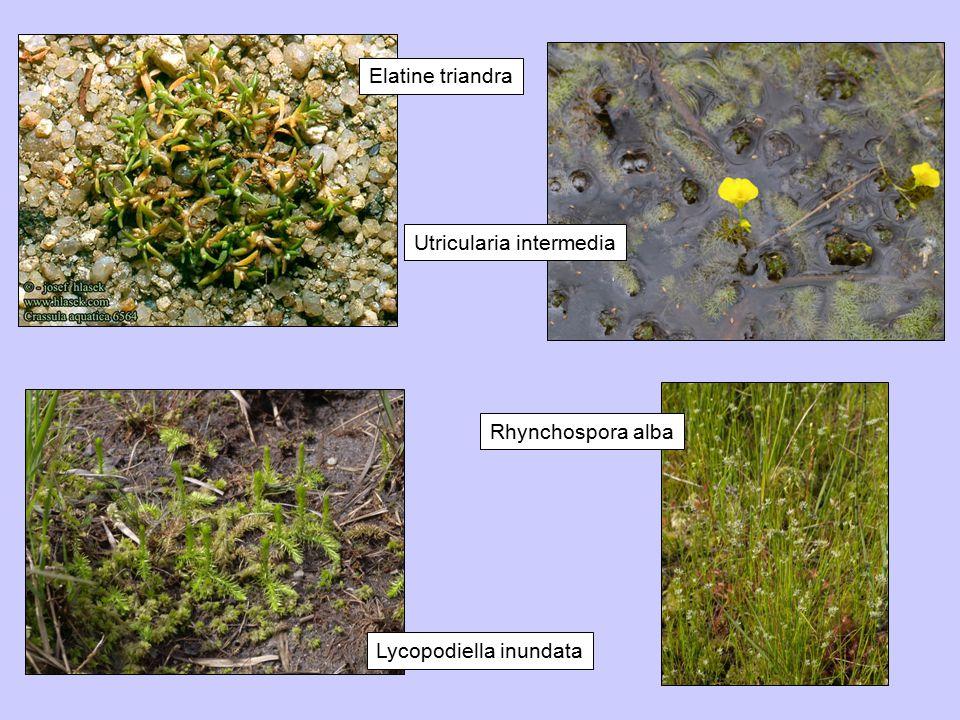 Elatine triandra Utricularia intermedia Lycopodiella inundata Rhynchospora alba