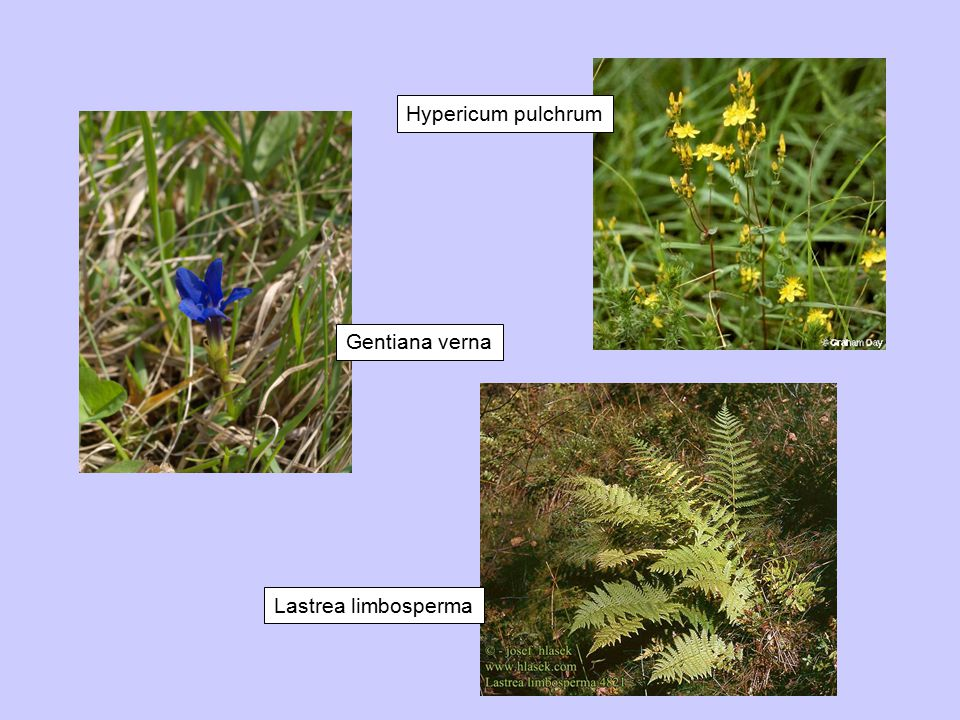 Gentiana verna Hypericum pulchrum Lastrea limbosperma