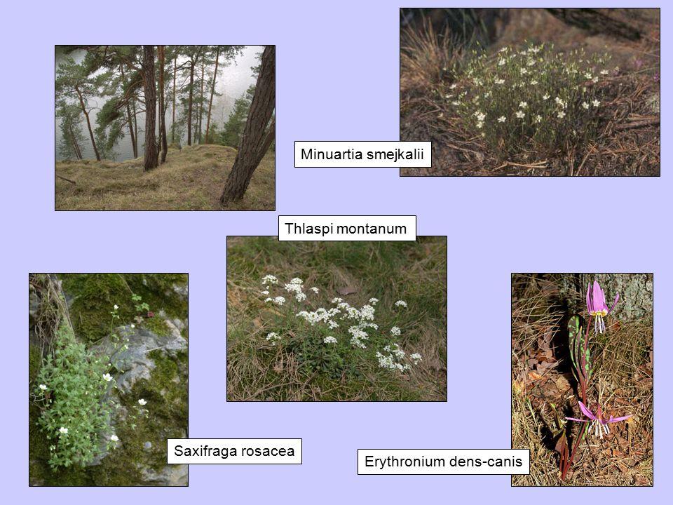 Thlaspi montanum Minuartia smejkalii Erythronium dens-canis Saxifraga rosacea