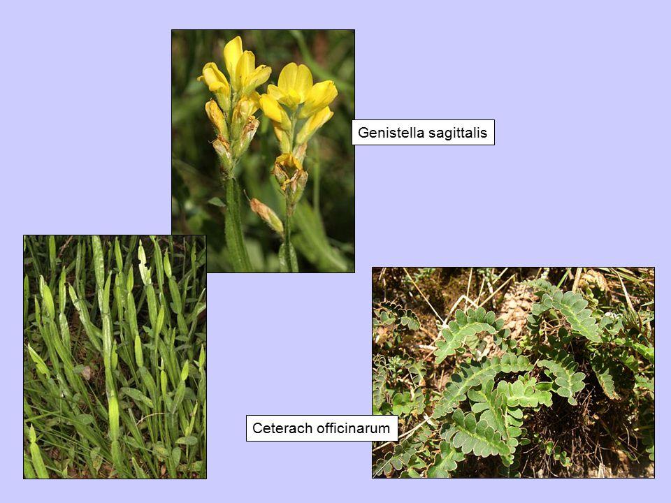 Genistella sagittalis Ceterach officinarum