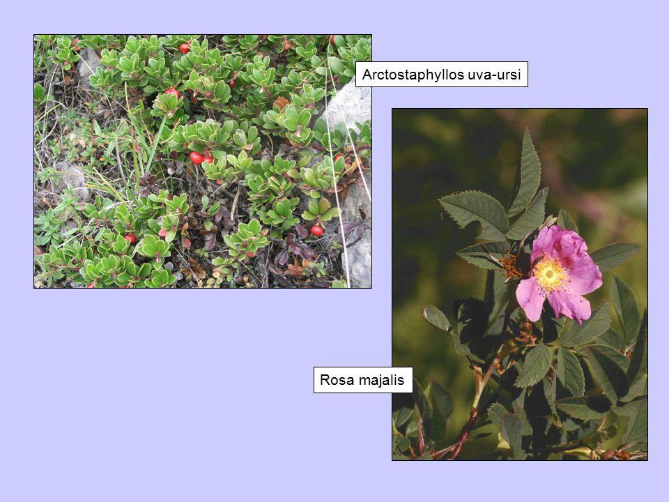 Rosa majalis Arctostaphyllos uva-ursi Rosa majalis