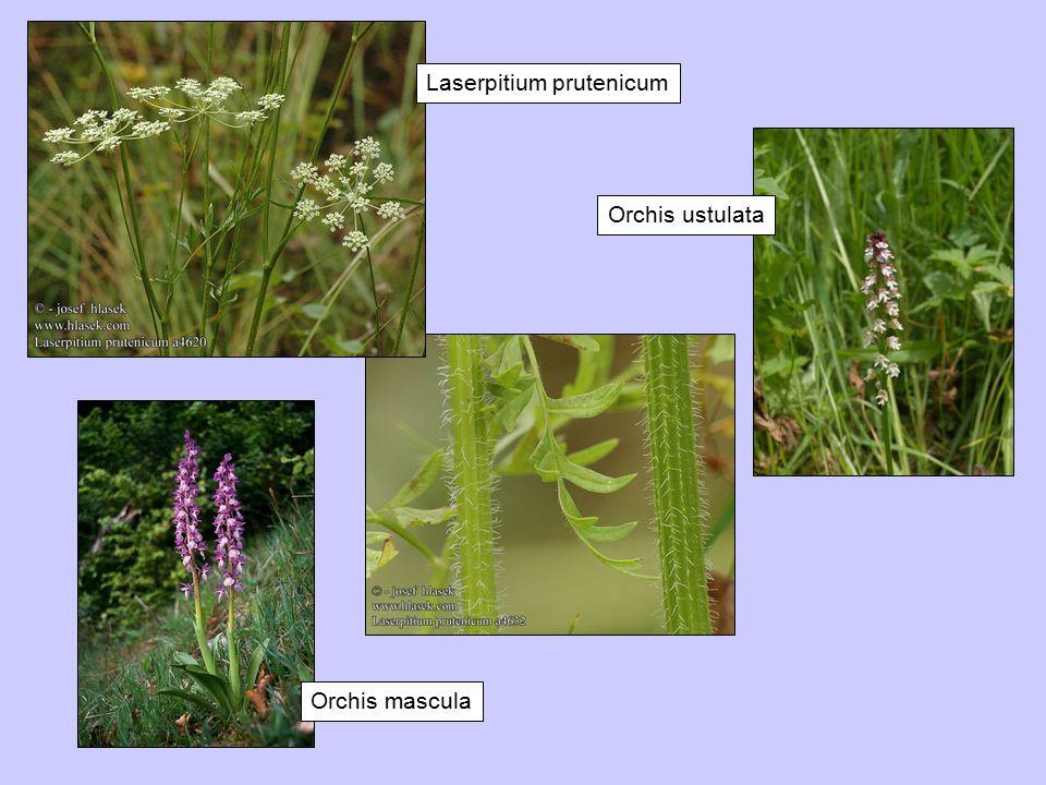 Laserpitium prutenicum Orchis ustulata Orchis mascula