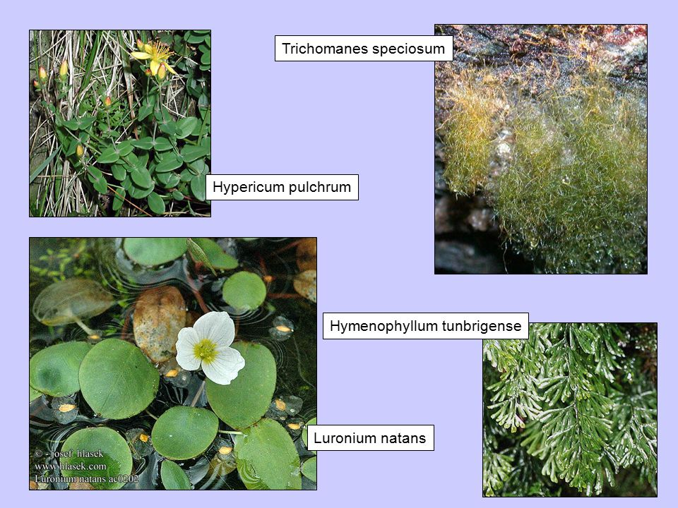 Hypericum pulchrum Luronium natans Hymenophyllum tunbrigense Trichomanes speciosum