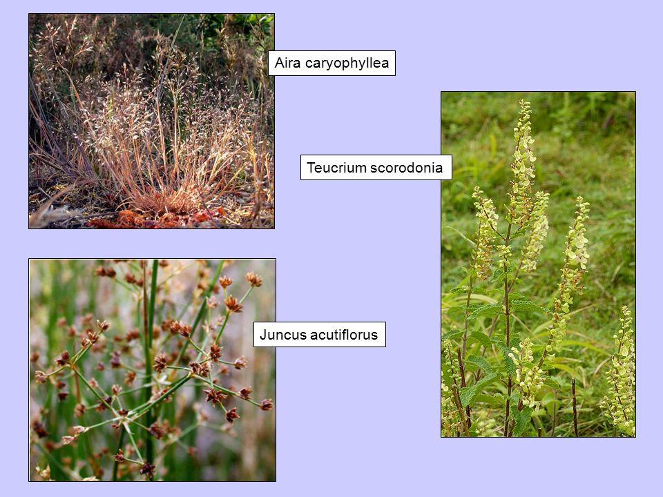 Aira caryophyllea Juncus acutiflorus Teucrium scorodonia