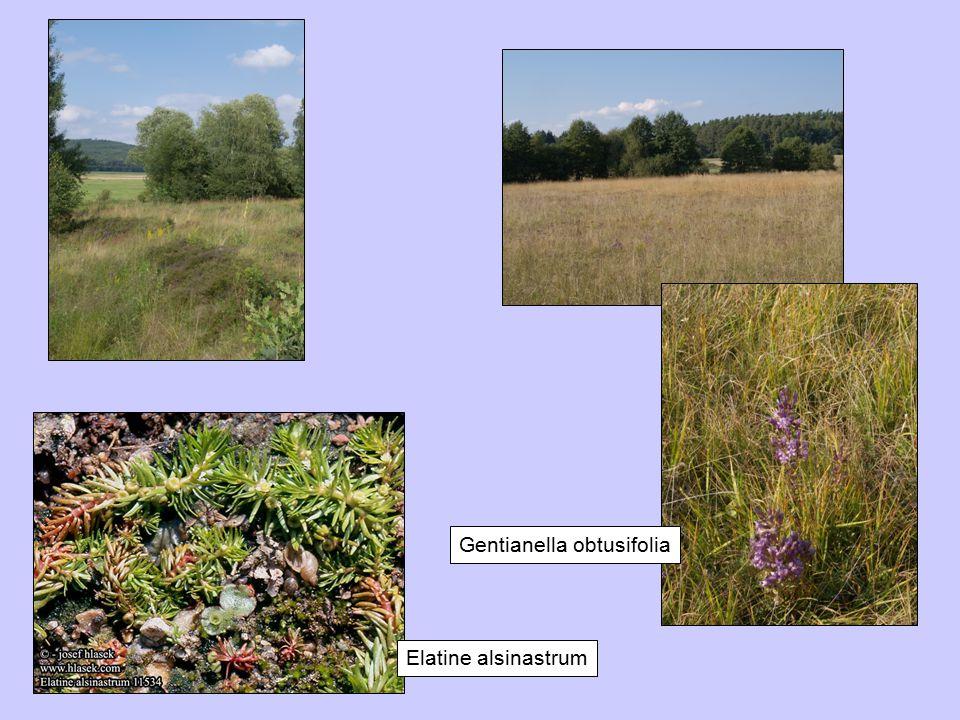 Gentianella obtusifolia Elatine alsinastrum