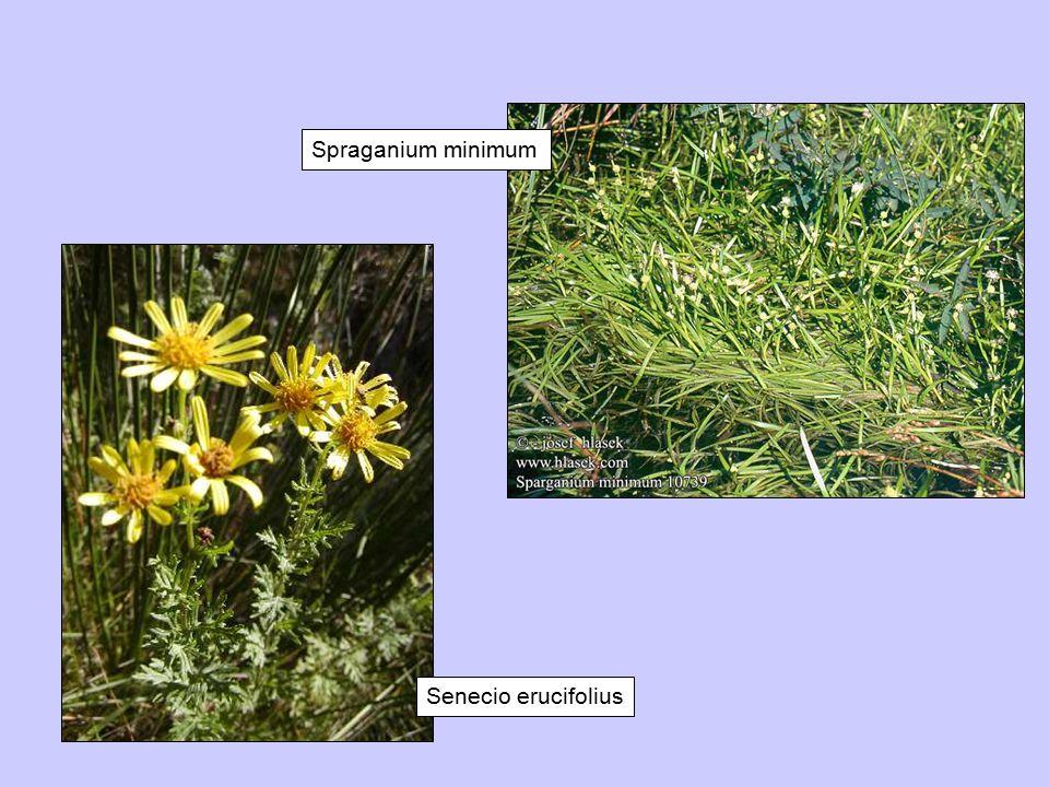 Senecio erucifolius Spraganium minimum