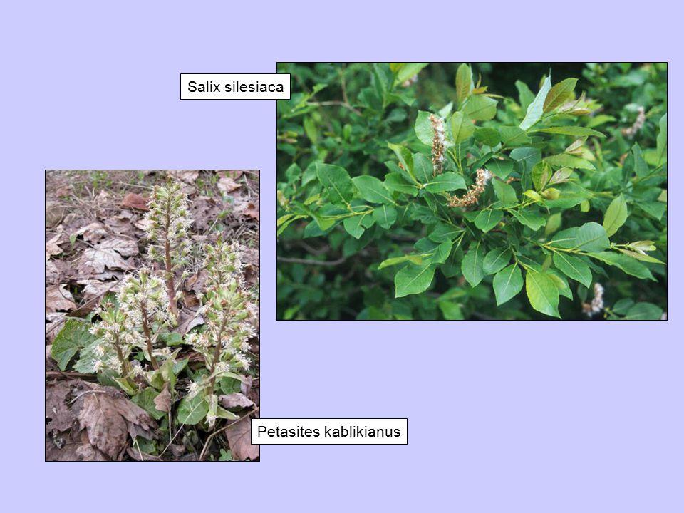 Petasites kablikianus Salix silesiaca