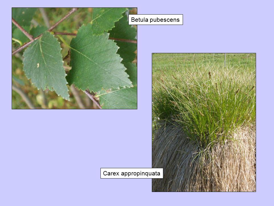 Betula pubescens Carex appropinquata