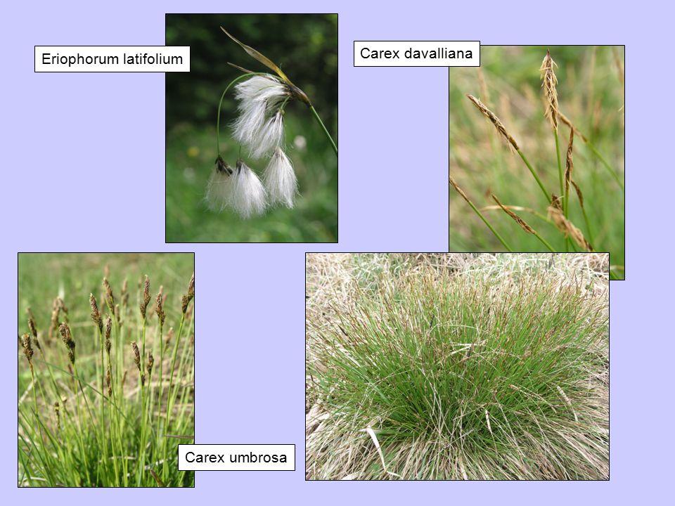 Carex davalliana Carex umbrosa Eriophorum latifolium