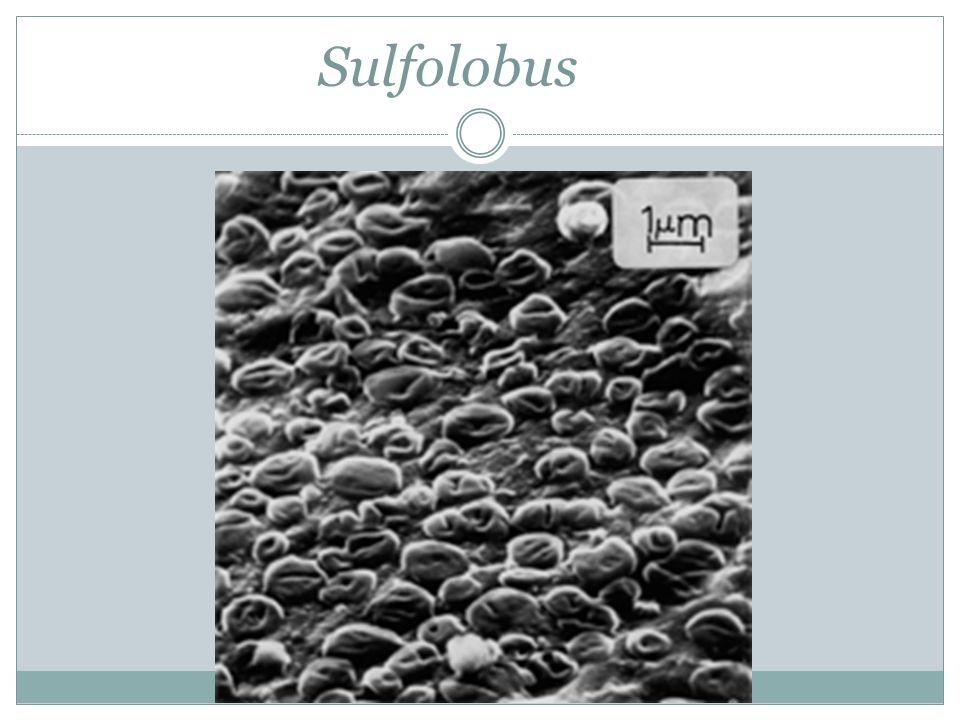 Sulfolobus