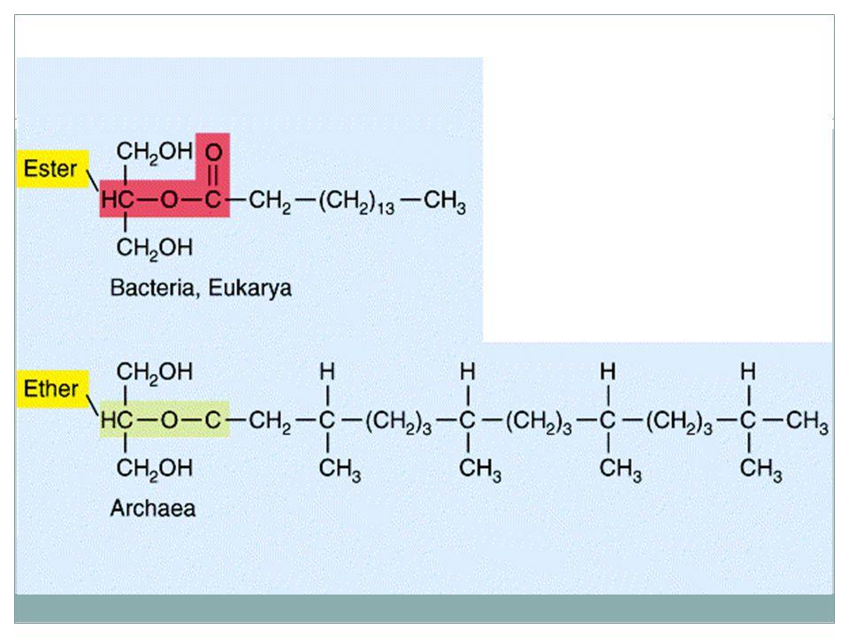Říše: Archebaktérie 2) Složením plazmatické membrány Vazba mezi glycerolem a mastnou kyselinou je éterová nikoliv esterová jako u bakterií a dochází k spojení dvojvrstvy lipidů v jednu