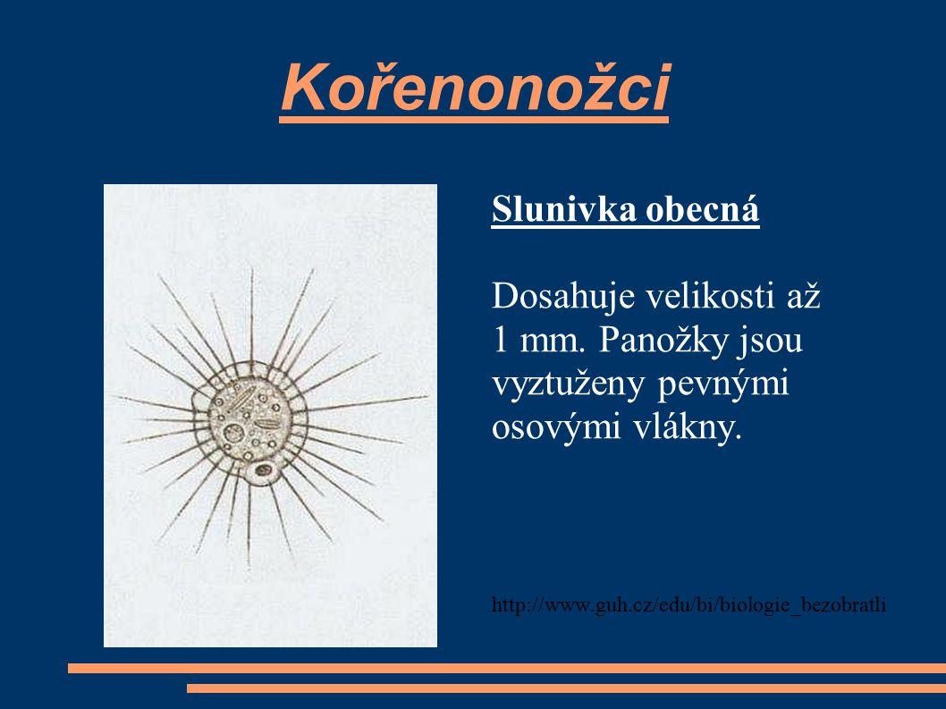 Kořenonožci Slunivka obecná Dosahuje velikosti až 1 mm. Panožky jsou vyztuženy pevnými osovými vlákny. http://www.guh.cz/edu/bi/biologie_bezobratli