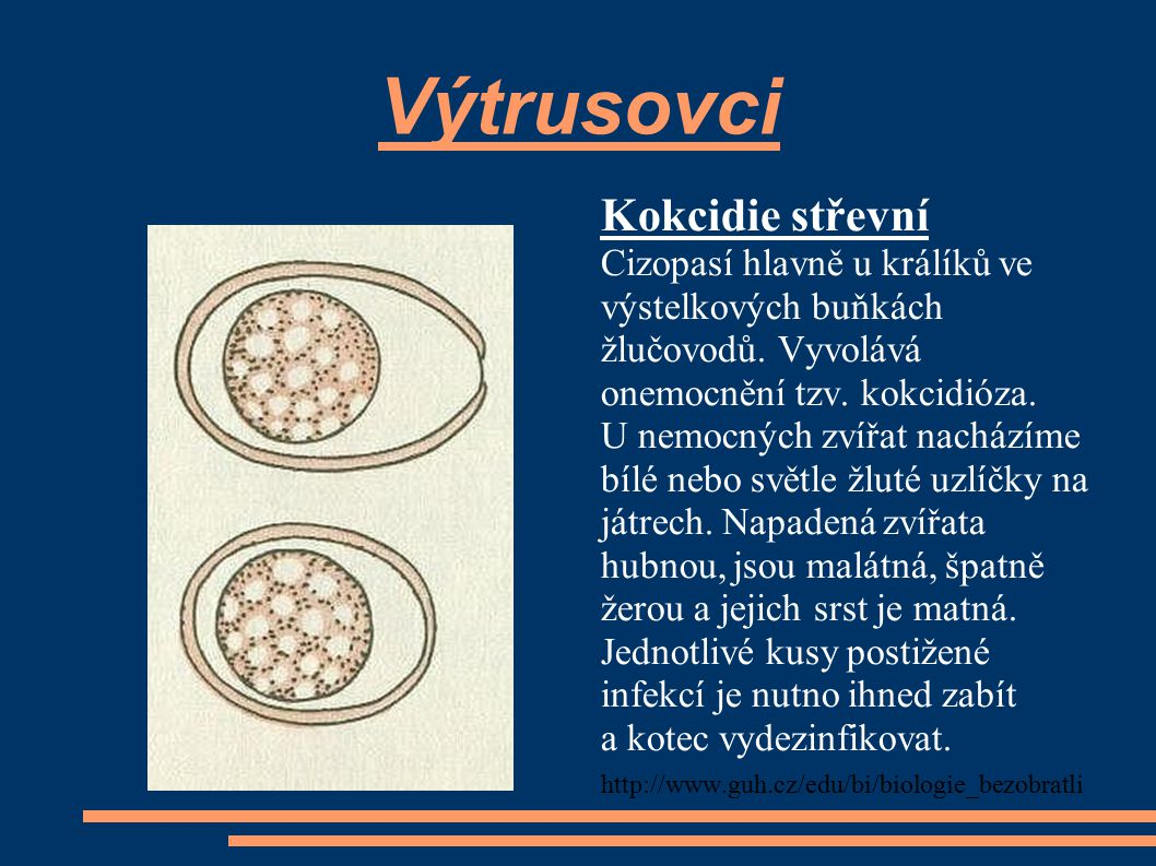 Výtrusovci Kokcidie střevní Cizopasí hlavně u králíků ve výstelkových buňkách žlučovodů. Vyvolává onemocnění tzv. kokcidióza. U nemocných zvířat nachá