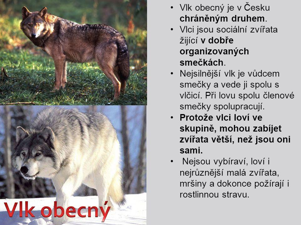 Vlk obecný je v Česku chráněným druhem. Vlci jsou sociální zvířata žijící v dobře organizovaných smečkách. Nejsilnější vlk je vůdcem smečky a vede ji