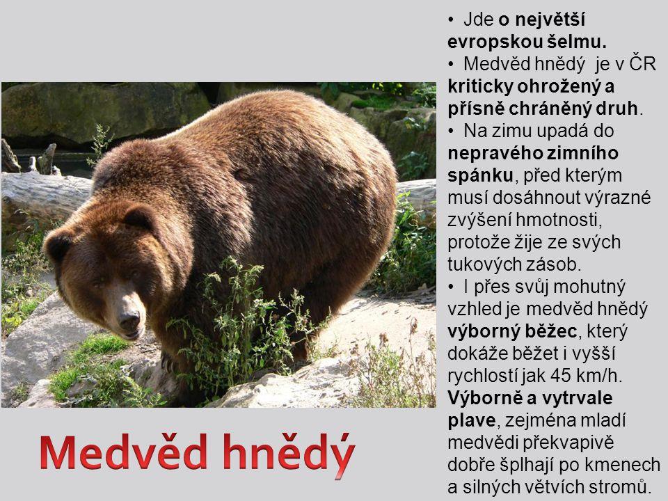 Jde o největší evropskou šelmu. Medvěd hnědý je v ČR kriticky ohrožený a přísně chráněný druh. Na zimu upadá do nepravého zimního spánku, před kterým