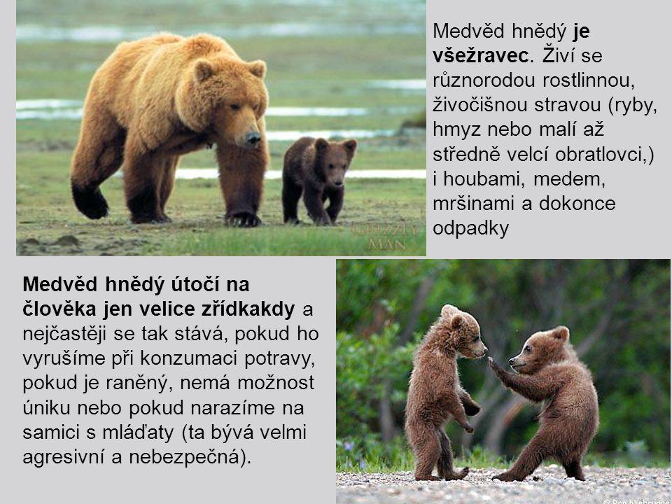 Medvěd hnědý je všežravec. Živí se různorodou rostlinnou, živočišnou stravou (ryby, hmyz nebo malí až středně velcí obratlovci,) i houbami, medem, mrš
