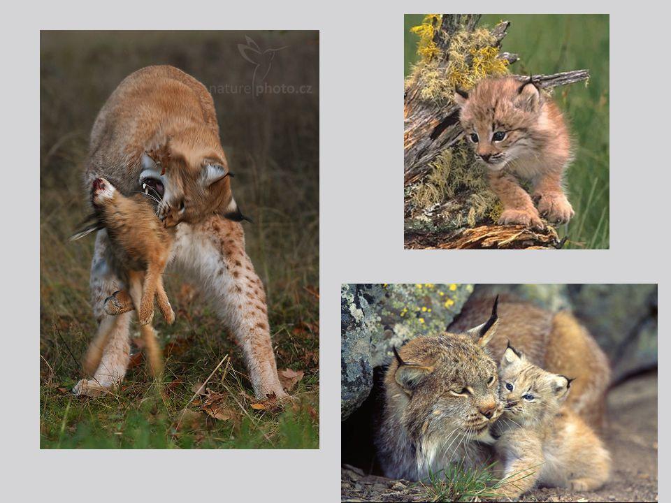 Savci –šelmy Šelmy – přizpůsobeny k lovu kořisti - rychlé, inteligentní, výborné smysly  význam pro udržování biologické rovnováhy, většinou všežravci  kuna lesní – výborně šplhá po stromech, v ČR běžná  jezevec lesní – v podzemí má rozsáhlé nory, aktivní v noci  liška obecná – psovitá šelma, v ČR běžná, nebezpečí přenosu vztekliny: nikdy se nedotýkej zdánlivě krotké nebo nalezené uhynulé lišky.
