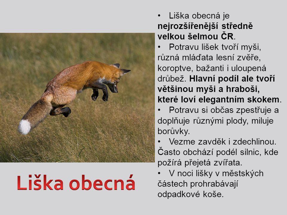 Liška obecná je nejrozšířenější středně velkou šelmou ČR. Potravu lišek tvoří myši, různá mláďata lesní zvěře, koroptve, bažanti i uloupená drůbež. Hl