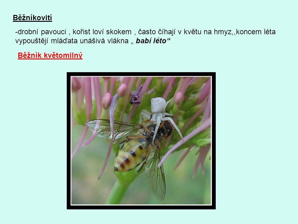 """Běžníkovití -drobní pavouci, kořist loví skokem, často číhají v květu na hmyz,,koncem léta vypouštějí mláďata unášivá vlákna """" babí léto"""" Běžník květo"""