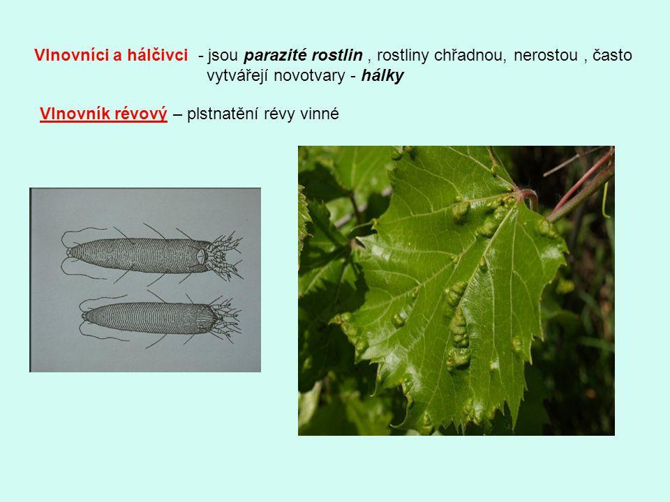 Vlnovníci a hálčivci - jsou parazité rostlin, rostliny chřadnou, nerostou, často vytvářejí novotvary - hálky Vlnovník révový – plstnatění révy vinné