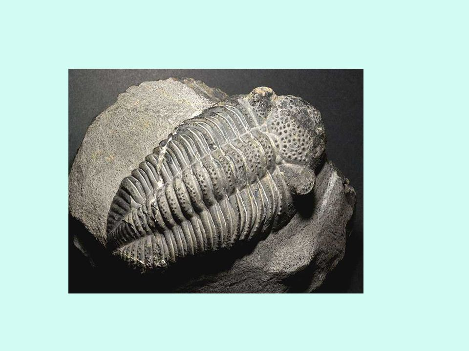 Řád : Buchanky - zpravidla mořské druhy, i ve sladkých vodách patří k nejhojnějším plankt.