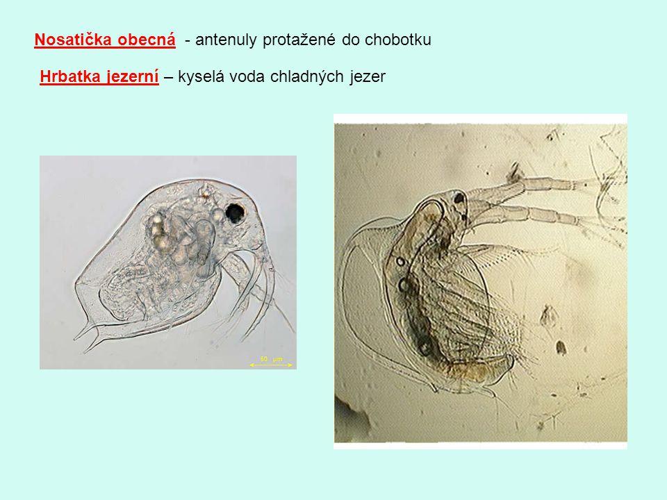 Nosatička obecná - antenuly protažené do chobotku Hrbatka jezerní – kyselá voda chladných jezer
