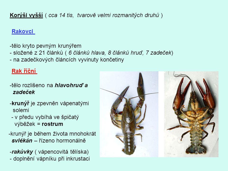 Korýši vyšší ( cca 14 tis, tvarově velmi rozmanitých druhů ) Rakovci -tělo kryto pevným krunýřem - složené z 21 článků ( 6 článků hlava, 8 článků hruď