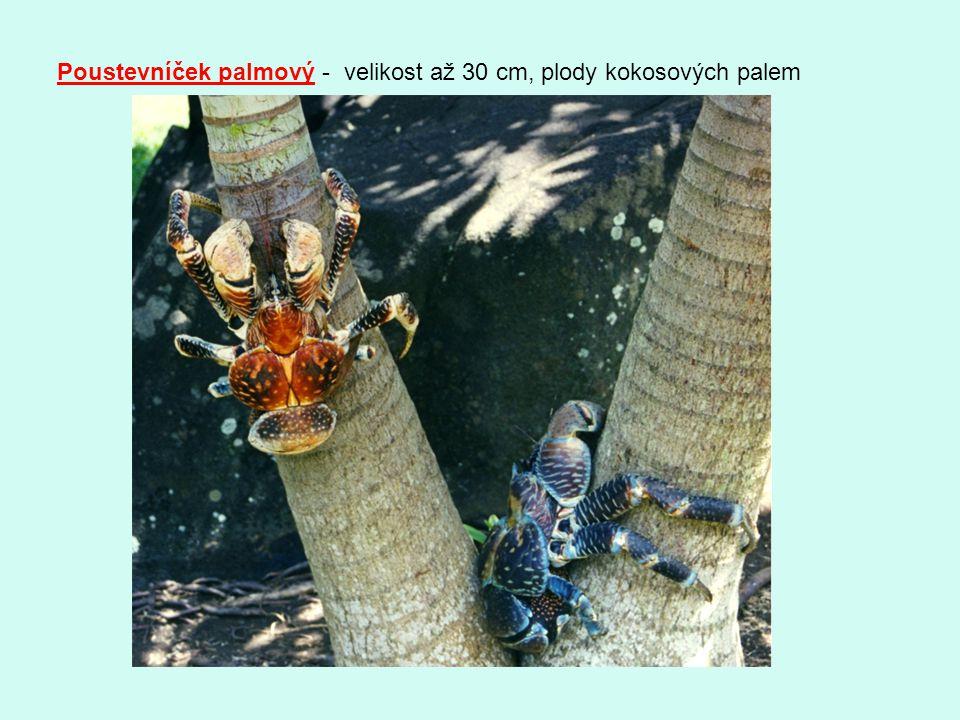 Poustevníček palmový - velikost až 30 cm, plody kokosových palem