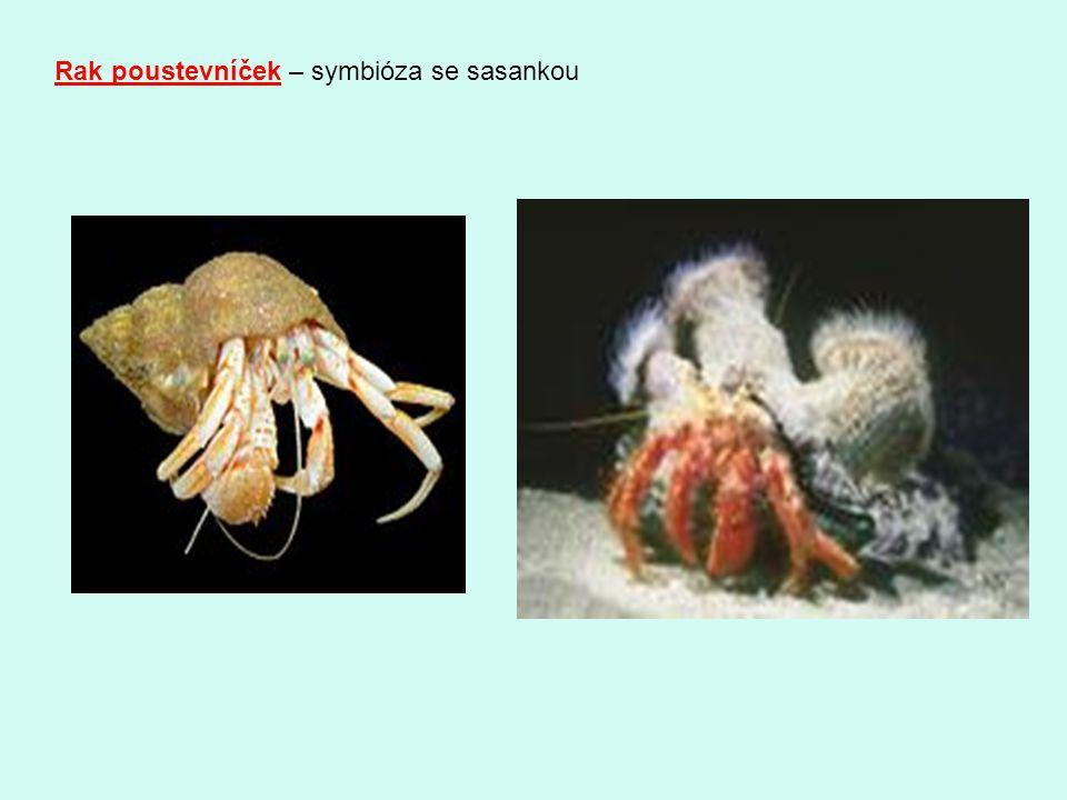 Rak poustevníček – symbióza se sasankou