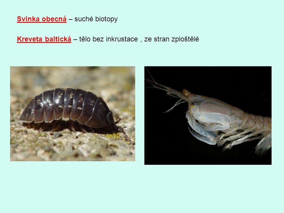 Svinka obecná – suché biotopy Kreveta baltická – tělo bez inkrustace, ze stran zploštělé