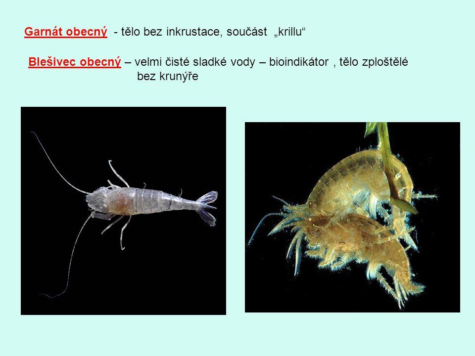 """Garnát obecný - tělo bez inkrustace, součást """"krillu"""" Blešivec obecný – velmi čisté sladké vody – bioindikátor, tělo zploštělé bez krunýře"""
